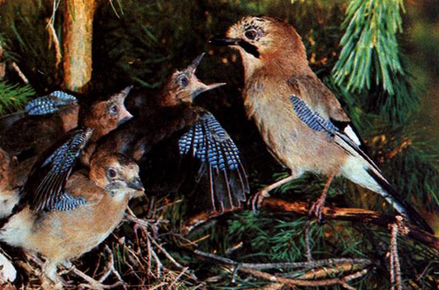 Сойка с птенцами