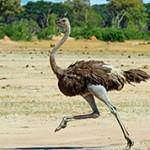 Интересные факты о страусах