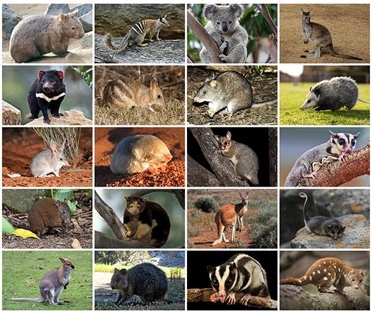 Сумчатые животные