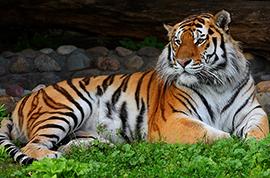 tigr12