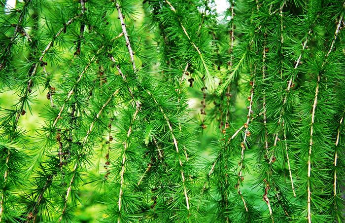 Ветки лиственницы
