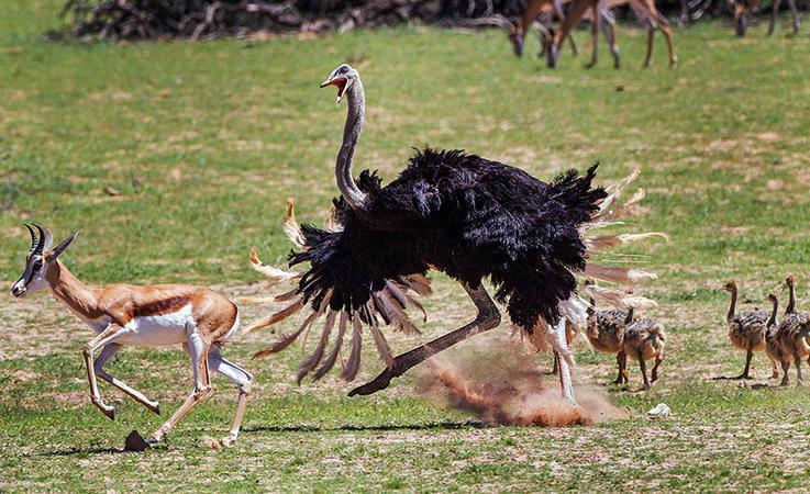 Злой страус