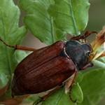 Интересные факты о майском жуке