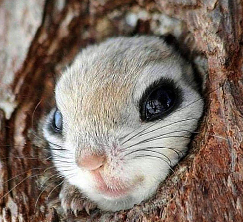 Глаза белки-летяги
