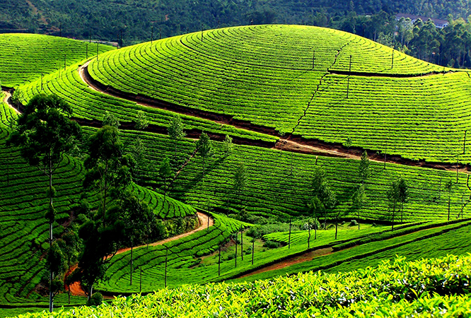Чайные плантации Нувара Элия