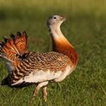 Дрофа — интересные сведения и факты о птице