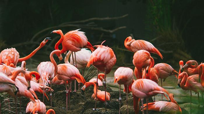 Много фламинго