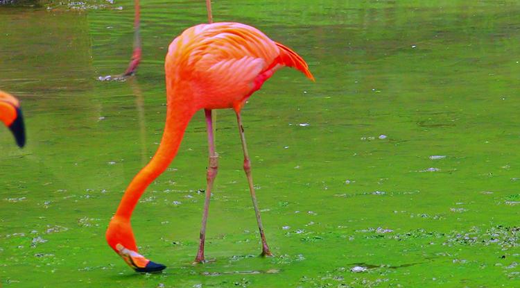 Фламинго кушает