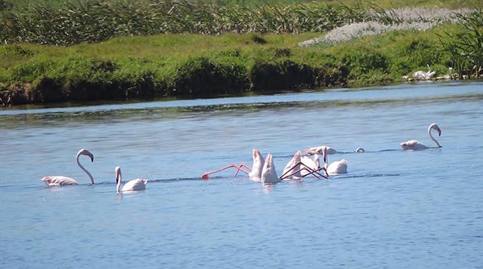 Фламинго плавают