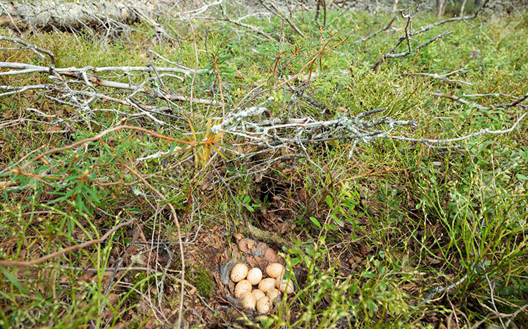 Гнездо тетерева