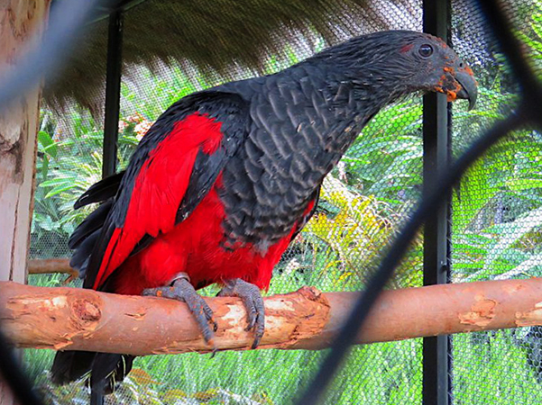 Щетиноголовый или грифовый попугай