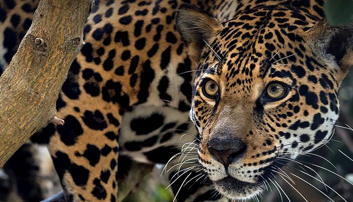 Ягуар смотрит