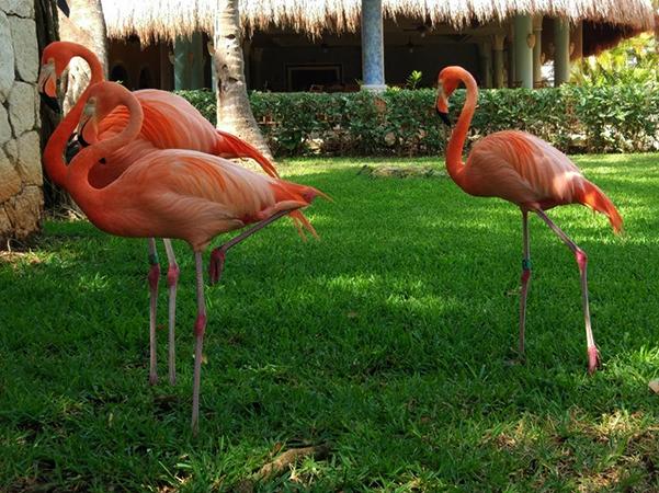 Карибские фламинго