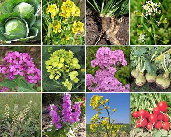 Крестоцветные растения