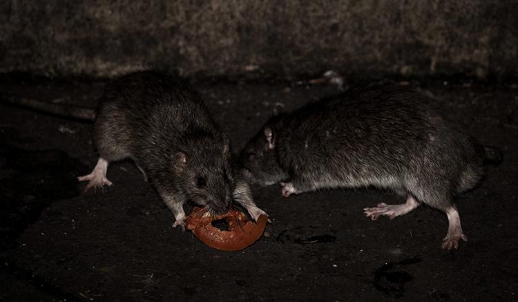 Жизнь крыс
