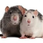 Интересные факты и сведения о крысах