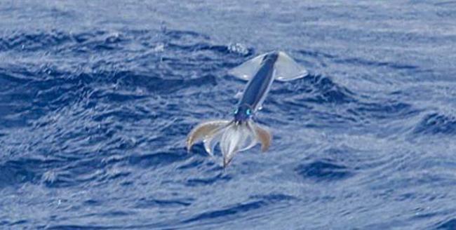 Летучий кальмар