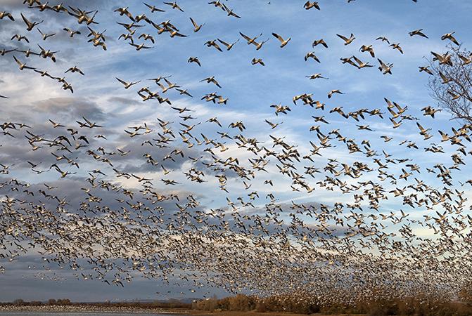Много перелетных птиц