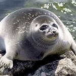 Байкальская нерпа — интересные факты о животном
