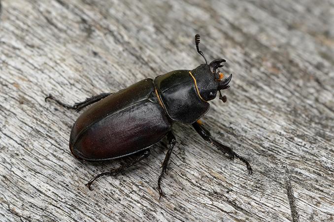Активный жук-олень