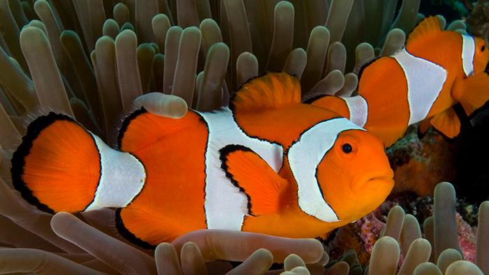 Пара рыб-клоунов