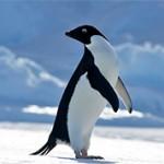 Пингвины Адели — самые интересные факты