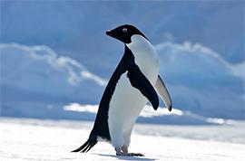 pingvava