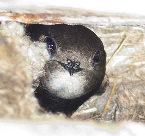 Гнездо стрижа