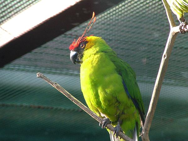 Рогатый попугай