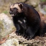 Росомаха — интересные факты о животном