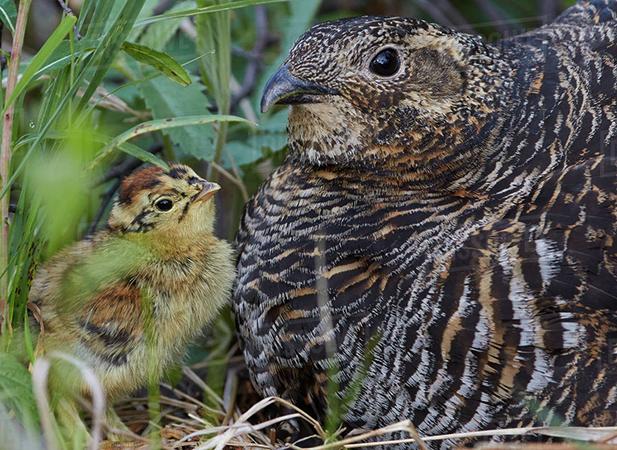 Самка с птенцом