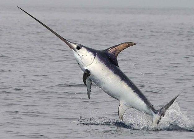 Сильная рыба-меч