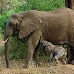 Интересные и удивительные факты о слонах