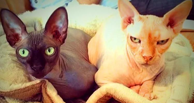 Кошки сфинксы