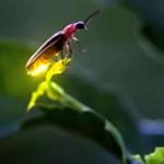 Жуки-светляки: интересные факты и сведения