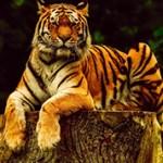 Самые интересные факты и сведения о тиграх