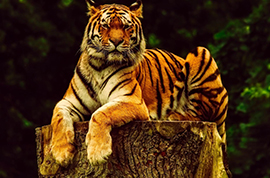 tigrava