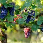 Интересные факты и сведения про виноград