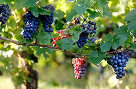 vinograva