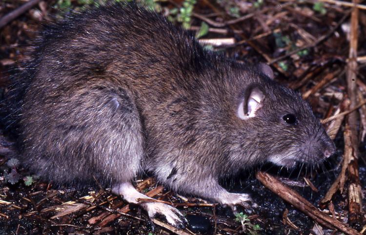 Злая крыса