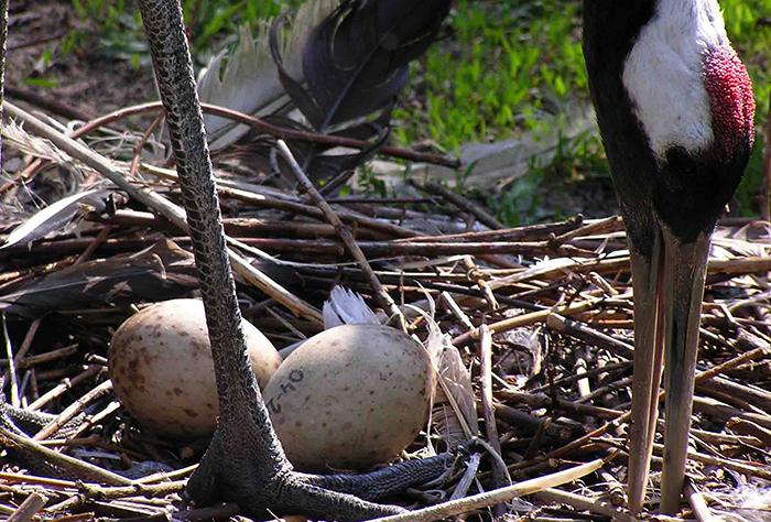 Журавли и яйца