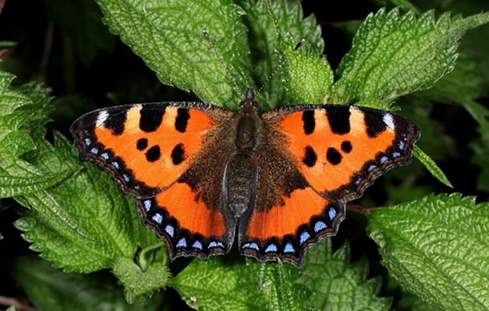 Бабочка крапивница