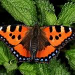 Интересные факты о бабочке Крапивнице