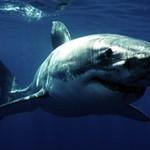 Интересные факты о белой акуле