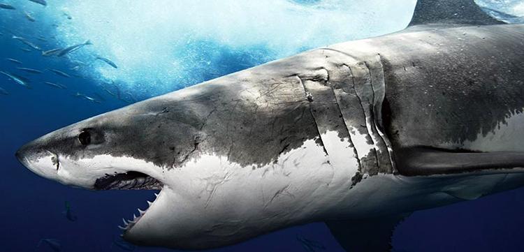 Белое брюхо у акулы