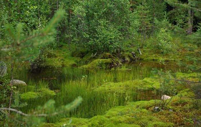 Мох на болоте