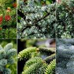 Удивительные и интересные факты о хвойных растениях