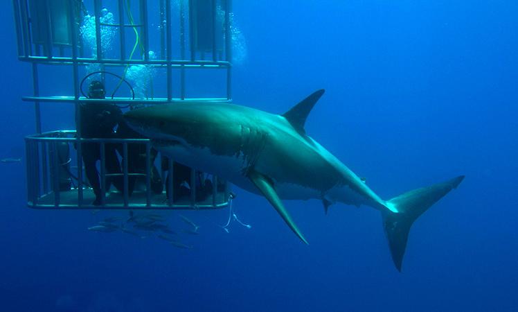 Клетка и белая акулы