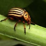 Интересные факты про колорадского жука