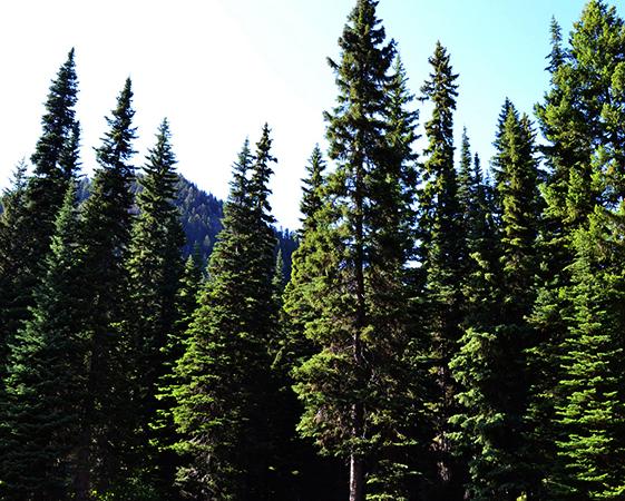 Красивый хвойный лес